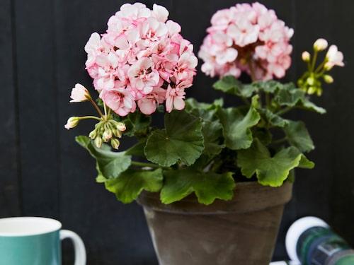 "Årets pelargon 2018: ""Picotee Pink""."