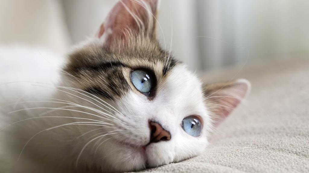 Urinvägsproblem bland katter är inte helt ovanligt – speciellt inte bland äldre och överviktiga.