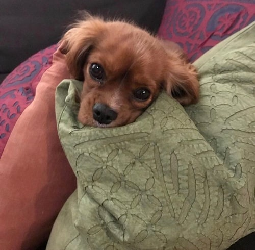 Hunden Bodil myser i soffan.