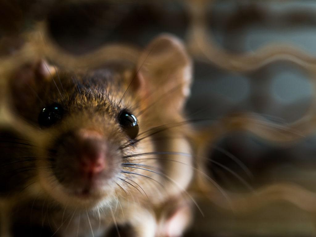 Råttor är inga önskade gäster hemma. Men när kylan kommer letar de sig gärna inomhus.Så här kan du göra för att undvika påhälsning av dem.