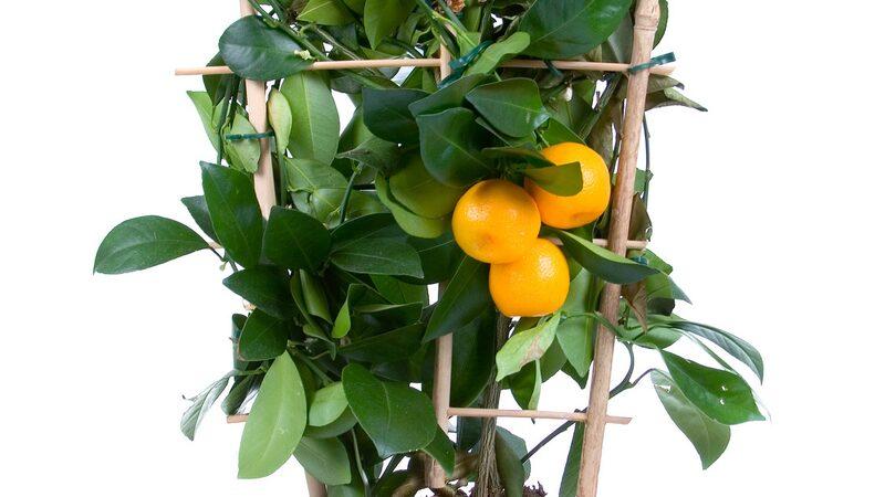 Miniapelsiner blir en härlig inredningsdetalj.