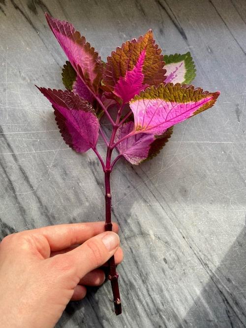 """Palettblad, """"China Rose"""", är tacksam att ta sticklingar av. Ju soligare den står, desto mer rosa blir växten."""