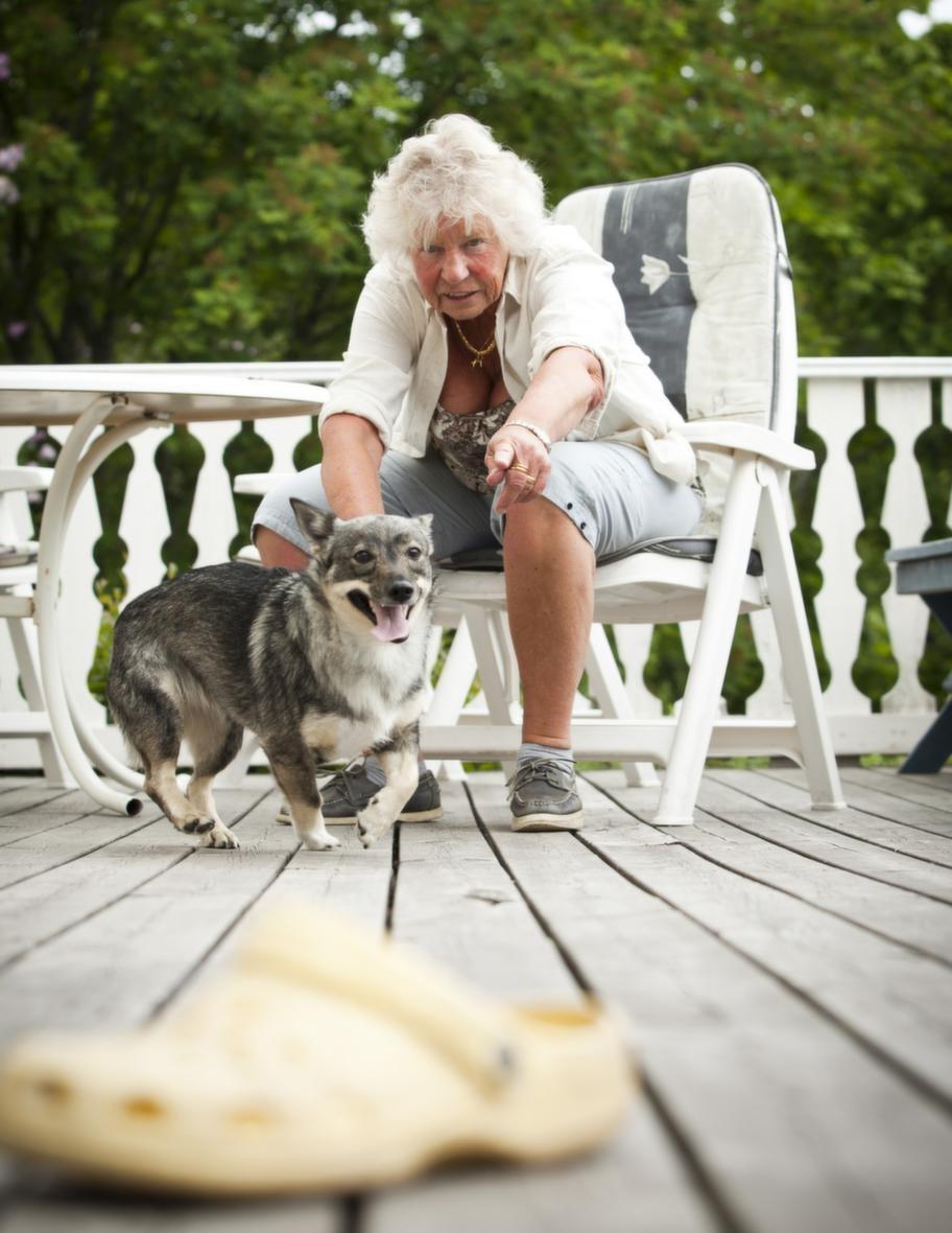 """<strong><span style=""""text-decoration: underline;"""">TRICK: HÄMTA EN SKO</span><br>Steg 2: Byt föremål.</strong> Uppmuntra hunden att hoppa  upp med framtassarna mot dig med föremålet i munnen. Du kan också lära  hunden att sätta sig framför eller bredvid dig och byta föremål mot  godis där i stället."""