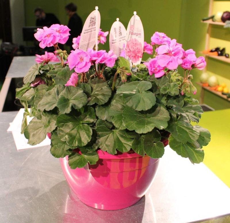 Årets pelargon 2015 – en rosalila Violino. Pelargoner är en av våra mest populära blommor. Vattna rikligt och regelbundet och låt det torka upp mellan vattningarna.