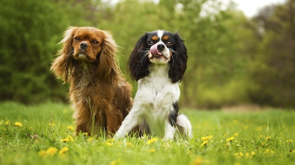 Cavalier king charles - lättsam och social hund.
