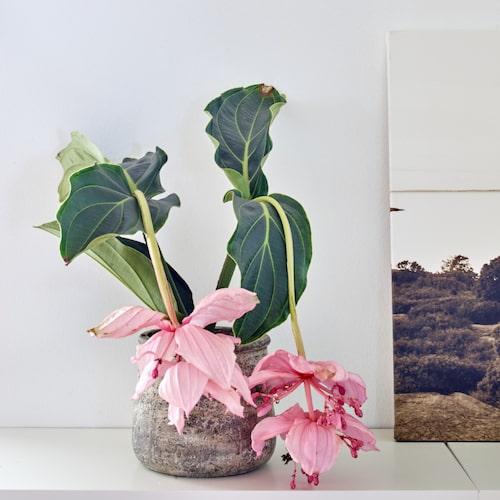 Mikaela tycker mycket om att pynta hemmet med blommor och blad. Här en ljuvlig rosenskärm i kruka.