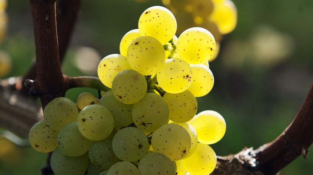 Silvaner är stoltheten i Franken. Andra vita druvor som odlas här är Rivaner, Bacchus och riesling.