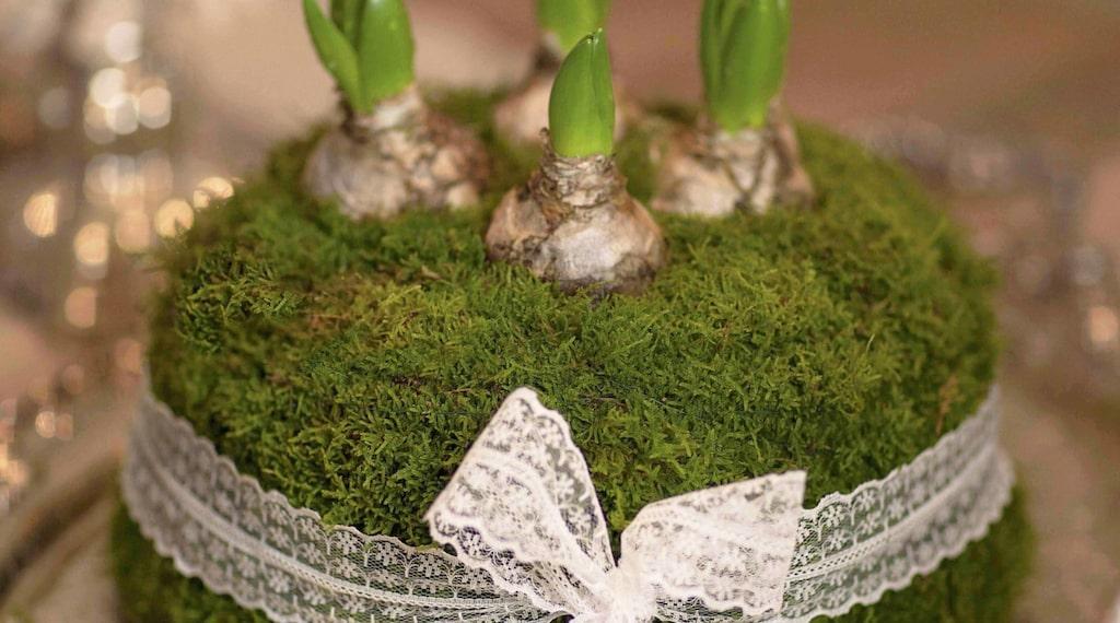 Arrangera dina hyacinter på ett nytt sätt i år –gör en fin prinsesstårta med marsipan av mossa!