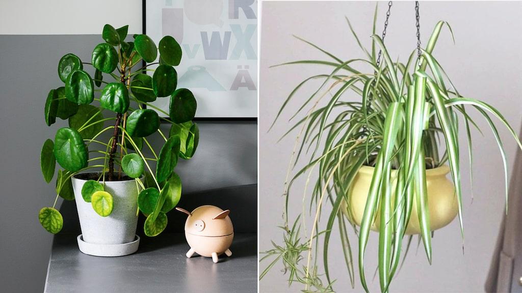 Elefantöra och ampellilja är två stora trendväxter i år.