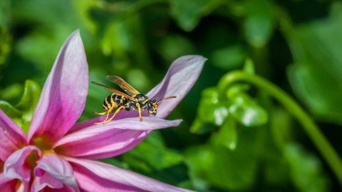 Man ska man komma ihåg att getingen också är ett nyttodjur med en viktig roll i ekosystemet. De hjälper till viss del till med pollinering och äter upp skadeinsekter i trädgårdar. Därför ska man inte sanera getingar i onödan.