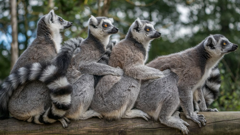 Nya inneträningen: yoga med lemurer-