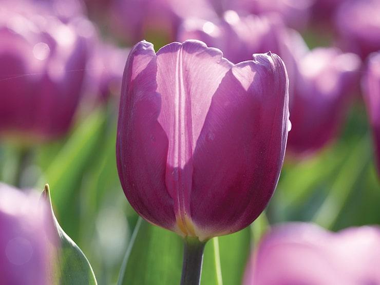 Triumftulpan Purple Flag är en läcker ekologisk tulpan med silverfärgade blad och purpurfärgade blomma.