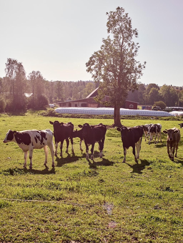 I hagen utanför huset går en del av gårdens kor.