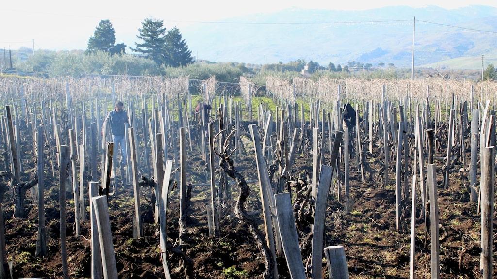 Den svarta vulkaniska jorden på Sicilien drar i dag till sig investerare från andra italienska regioner och länder.