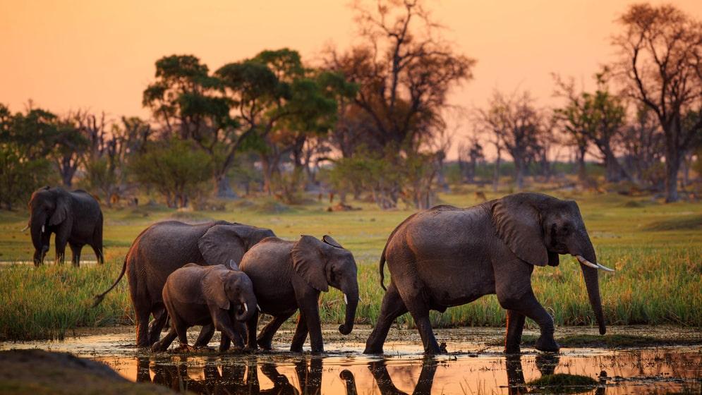 Botswanas elefanter är tillåtet villebråd igen.