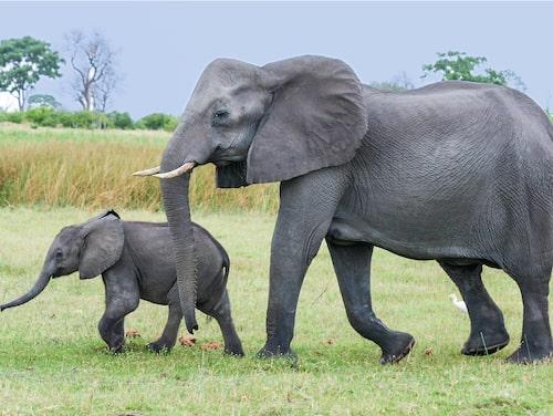 I Chobe finns över 48 000 elefanter.