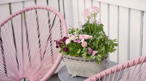 Gör du en vacker plantering med ranunkel, bellis, förgätmigej och penséer behöver du ta in den på natten.