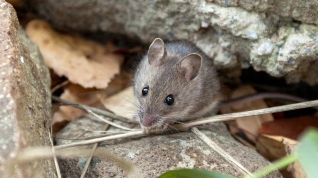 Råttor och möss väljer gärna att flytta inomhus nu när hösten närmar sig och det börjar bli kallare.
