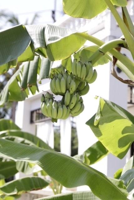 Hon får inte nog av bananplantorna och köper nya nästa varje gång hon är i landet.