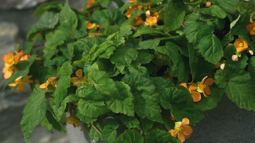 Begonian trivs som bäst när den står ljust, men inte i direkt solljus. Den trivs också i mörkare miljöer. Vattna plantan med jämna mellanrum så jorden förblir lite fuktig.