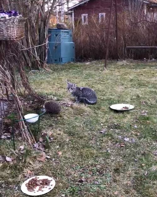 """Fem månader gamla katten Otto är mycket intresserad av igelkottarna, berättar Carina: """"Otto är totalt förvirrad. Han verkar tycka 'Gud vilka konstiga djur, ska de äta min kattmat?'"""""""