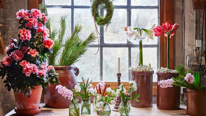 När amaryllisen börjat blomma ska du ställa krukan lite svalare – så är den vacker hela julen.