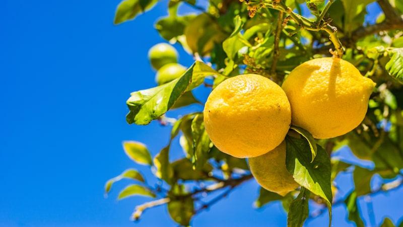 Börjar bladen på citronträdet gulna kan du ge lite citrusnäring en eller två gånger i månaden.