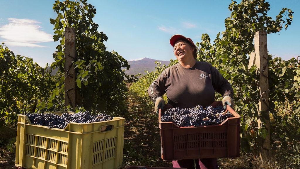 Druvskörd på Etna, Sicilien. Ett av Italiens hetaste vinområden just nu.