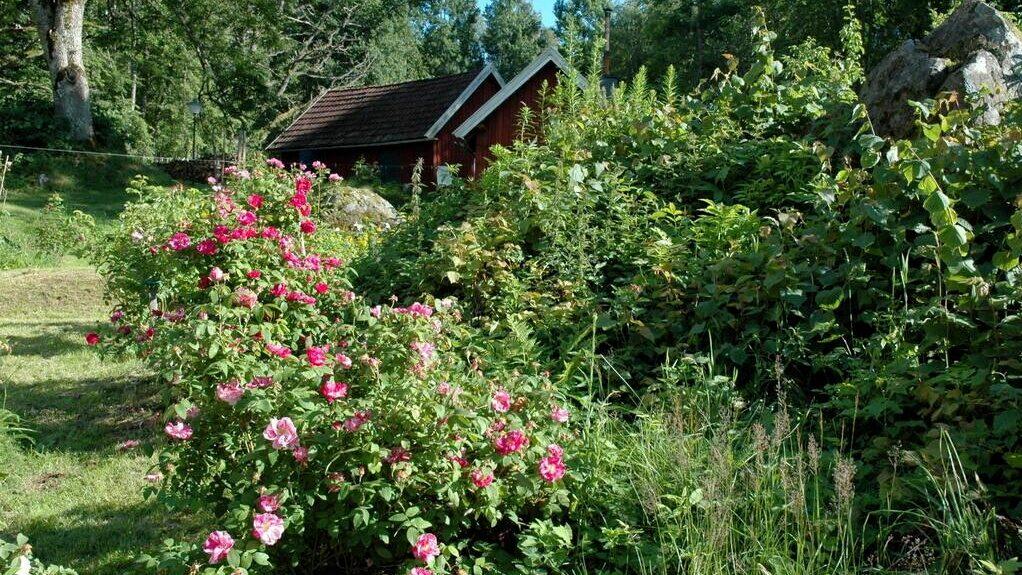 Trädgården visar upp ägarens stora intresse: här finns ett 30-tal olika rossorter.