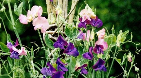 Plantera luktärter längs en vägg eller mot en spaljé är ett av trädgårdskonsulent Rolf Eskilssons tips, när sommarträdgården ska planeras.