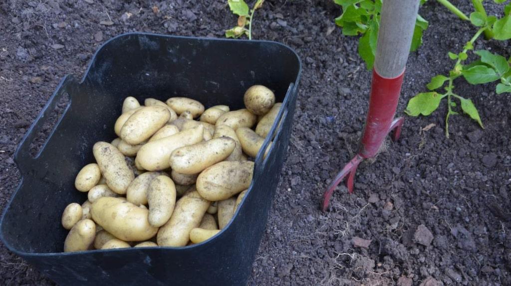 Odla potatis är roligt! I april kan du förgro, för att få härligt god färskpotatis till midsommar.