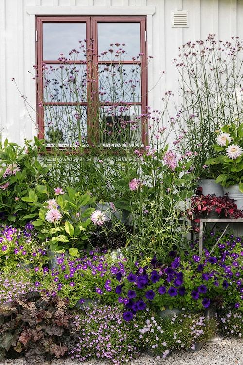 """Den lavendelfärgade lobelian """"Springs Lavander"""" och jätteverbenan är två av sommarens favoriter. De har båda en lila färgnyans som känns stilfull."""