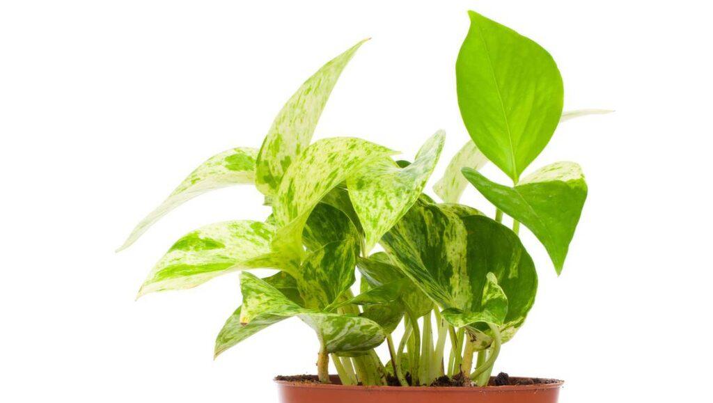Gullranka plockar upp formaldehyd ur luften. Håll växterna rena från damm, genom att duscha av dem ofta, för bästa effekt.