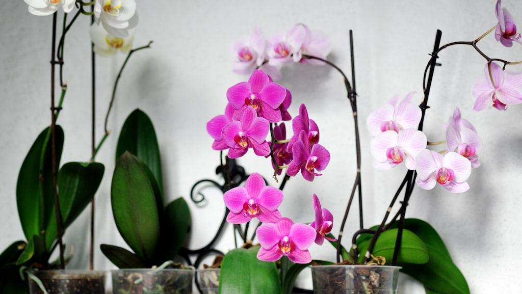Så här fina är orkidéerna när vi får eller köper dem, sedan tappar de blommar - helt naturligt. Men för många kommer aldrig blommorna tillbaka. Testa då detta enkla knep, och du kan ha dem i många år till!